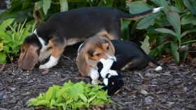 A litter of puppies was recently born by in vitro fertilization