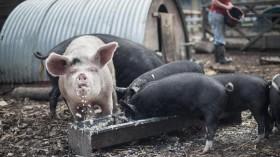 Pigs Eating Food Waste
