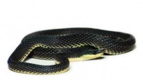 New Fishing Snake