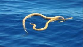 Short Nose Sea Snakes