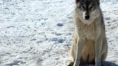 A gray wolf in Minnesota