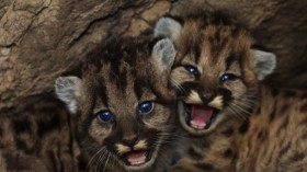 Two baby mountain lions