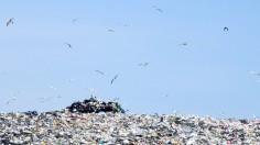 Birds at Landfill