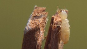Aging termites carry crystal pouches to defend from invaders. (picture for representation purpose only)Credit: Wikimedia Commons/ Althepal