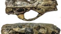 Skull of Paramys