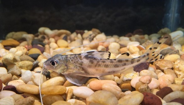 Pictus Catfish