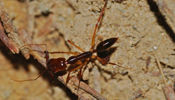 Trap-Jaw Ants
