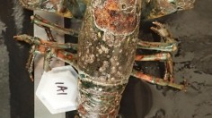 Infected Lobster
