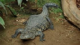 Morelet's crocodiles