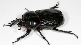A new study suggests that the rhinoceros beetles depend on insulin levels for the growth of their horns. (Photo: Wikimedia Commons/ Anaxibia)