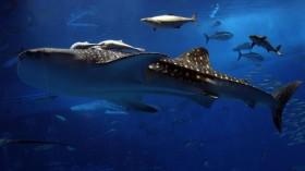 Okinawa Churaumi Aquarium Attracts Visitors