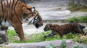 Tigers declared functionally extinct in Cambodia