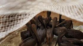 Pelicans after BP oil spill