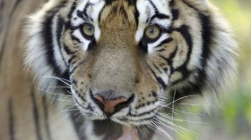 Hand Reared Siberian Tigers Trained To Live in Wild