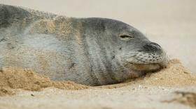 Endangered Hawaiian Monk Seal spends two days sleeping on the beach near Banzai Pipeline.