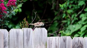 Sparrow Collecting Dog Fur