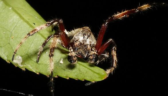Darwin's Bark Spider (Caerostris darwini)