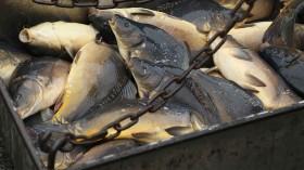 Fisheries Harvest Christmas Carp
