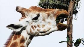 Giraffe in Taronga Zoo