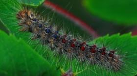 Gyspy Moth