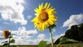 Sunflowers Are In Full Bloom
