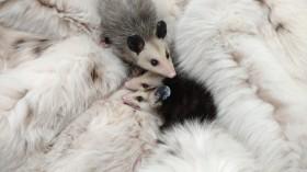 Virginia Opossum Joeys 3 - The Fund for Animals Wildlife Center