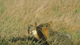 Grooming Foxes on Santa Cruz Island
