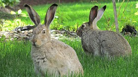 A Pair of Hare