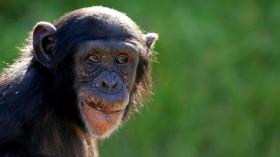 Sydney's Taronga Zoo Welcomes New Baby Chimp