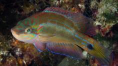 Male Symphodus ocellatus