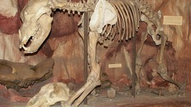 Cave Bear Remains