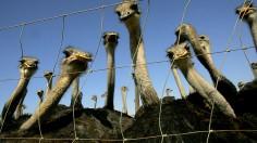 Ostrich Industry Threatened By Avian Flu