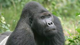 Eastern Lowland Gorilla (Gorilla beringei graueri)