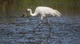 Whooping crane with freshwater mussel