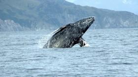 Gray whale (Eschrichtius robustus) breaching