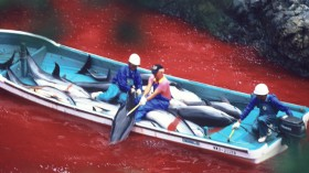 Dolphin slaughter in Taiji Japan