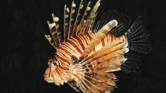 Common lion fish Pterois volitans