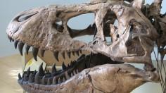 UCMP Trex skull left