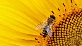 Bee with a sunflower