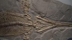 Ichythosaur fossil