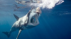 Great white shark predator