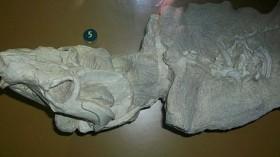 probainognathian cynodont