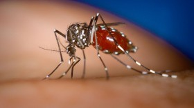 Aedes albopictus female mosquito feeding on a human host