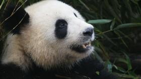 Loosing the Oldest Giant Panda