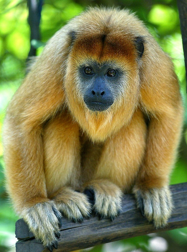 what is a howler monkey