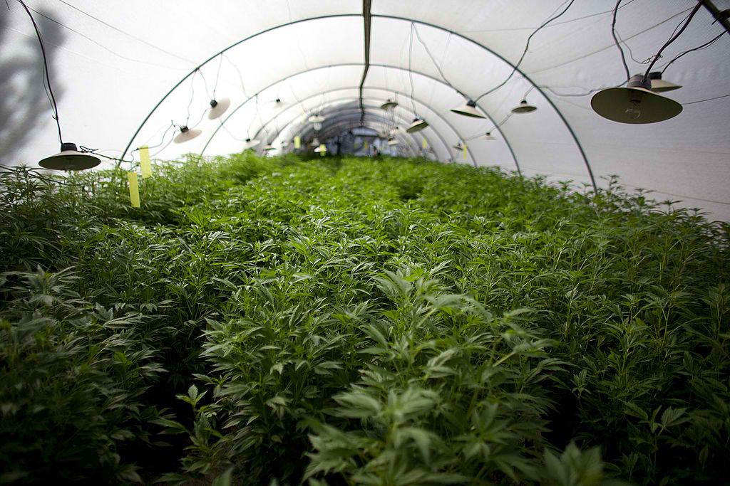 Оранжереи марихуаны метод выращивания конопля