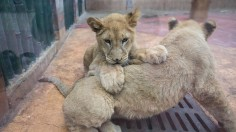 Ancient Lion Cubs Found Frozen in Russia