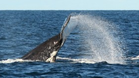Whale song vibrations may be disrupted by human activity
