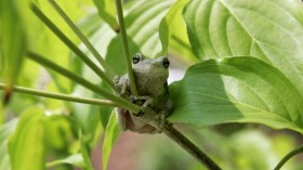 Scientists have discovered that increasing temperatures can turn frogs vegetarian