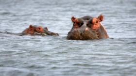 The common hippopotamus population has finally recovered after years of poaching